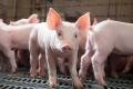Агрофірма «Відродження» збільшила прирости свиней, модернізувавши системи годування