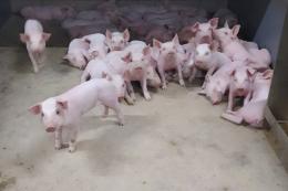 Обслуговчий персонал свиноферм може переносити збудника еймеріозу