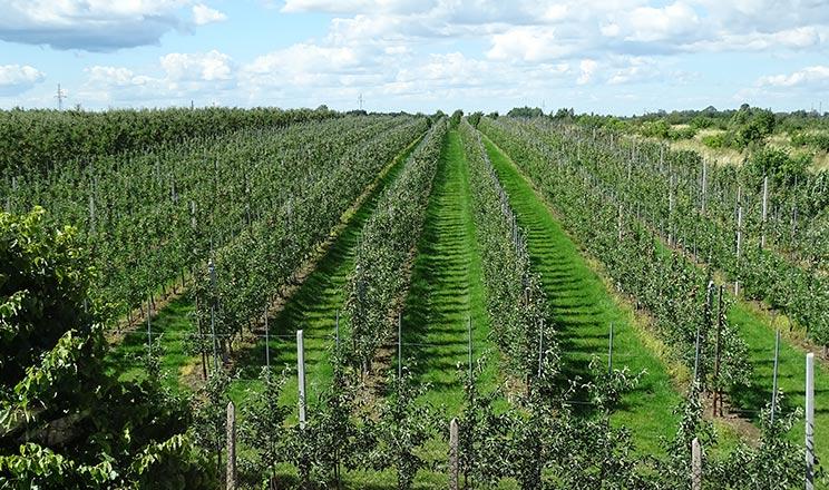 Літнє обрізування яблуні