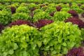 ФГ «Пан Білан» вирощує 22 види салатів одночасно