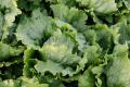 Салати вирощують дещо активніше, ніж у звичайний рік