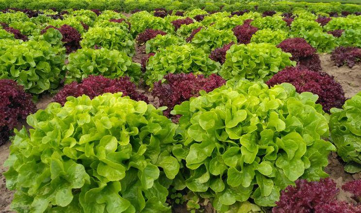 Ділянку для салатів фермер міняє щороку
