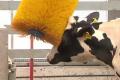 Що може зменшити стрес корів, які перебувають в ізоляції
