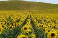 Повітряна посуха в південних регіонах України викликає передчасне припинення наливу сім'янок у рослин соняшнику