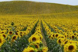 Ширина міжряддя соняшнику 45 та 50 см додає 2-5 ц/га до врожайності, – досвід