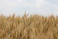 Готуємо поле під сівбу озимини: досвід агрофірми «Колос»