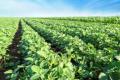 Урожайність сої цього року на 45% нижча, ніж торік