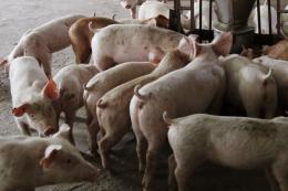 Експорт та імпорт свиней скоротився більше ніж удвічі