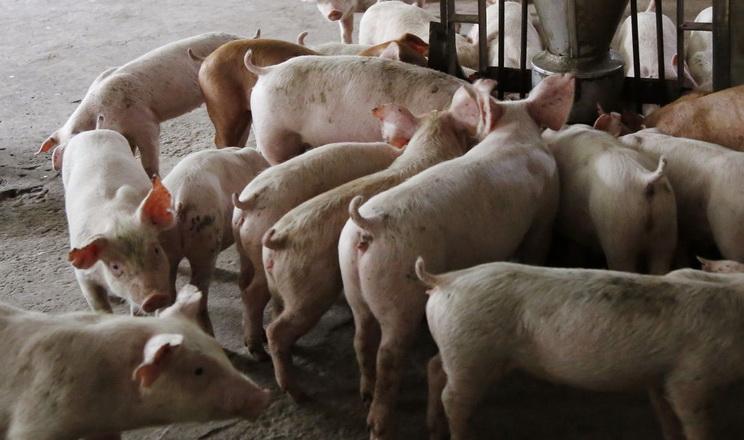 П'ять свиней на кожне кормомісце – запорука  якісної годівлі