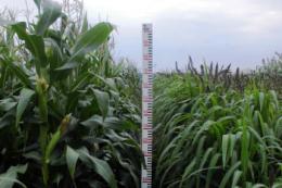 Сумісні посіви кукурудзи та пайзи дають високий урожай зеленої маси