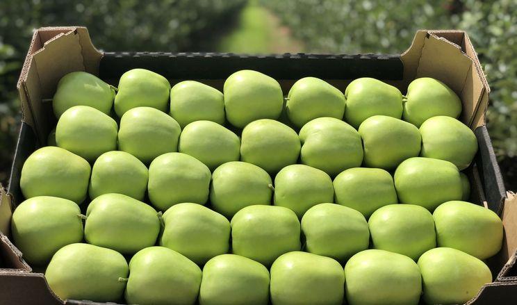 Лише 17% врожаю яблук буде якісним, – експерт