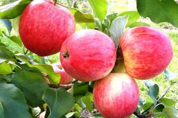 Почали збирати раннє яблуко