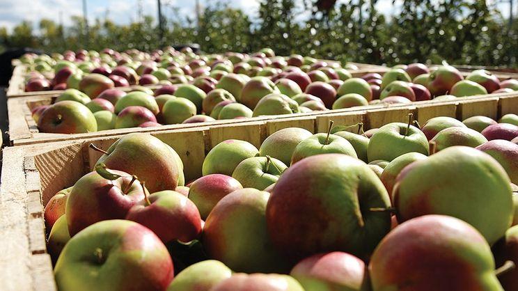 Сільгосппідприємства вирощують 30% яблук