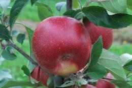 У Новій Зеландії вивели яблуні, адаптовані до спеки і посухи