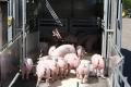 Пандус дозволяє швидше перевантажувати свиней