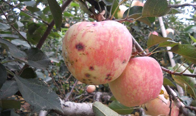 Збудник антракнозу яблуні живе всередині листя, – вчені