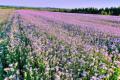 Сумісні посіви гречки з фацелією забезпечать їй приріст урожаю