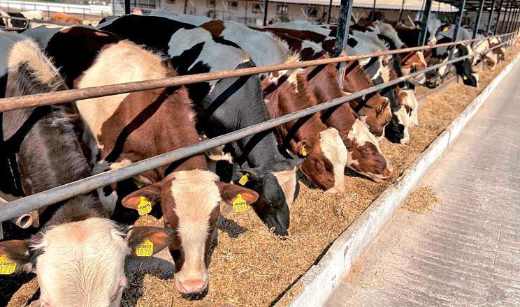 «Соняшникові» корови