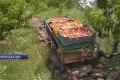 Закарпатський фермер побудував «персиковий фунікулер»
