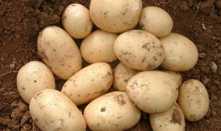 Картопля суттєво подешевшала