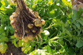 Салатна картопля Джекі може дати до 50 т/га невеликих бульб