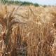 Як визначити оптимальну норму висіву озимої пшениці — поради агрофірми «Колос»