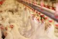 Тиск води в лінії напування в пташнику посилюють мірою зростання курчат