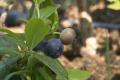 На Закарпатті заплодоносила найвисокогірніша плантація лохини