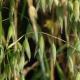 Головні акценти у підготовці ґрунту під сівбу вівса