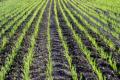 Названо культури, які дозволяють провести посівну озимини у строк