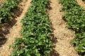 У ФГ «Ніжин агроінвест» полуниці підживлюють молоком