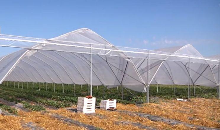 Суниці садові в тунелях дали на 20% більший урожай