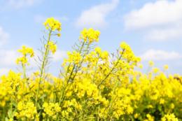 Поверхневий обробіток ґрунту забезпечить рослинам ріпаку озимого добрий ріст