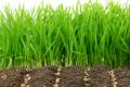 Два ризики висіву пшениці озимої в надранні строки