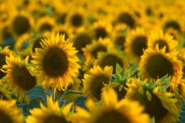 Виробництво соняшнику в Північному регіоні зросло майже в 7 разів, –  дослідження