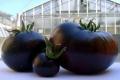 Італійські вчені вивели новий сорт чорних томатів