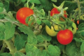 Колумбійські селекціонери працюють над томатами-чері з протираковими властивостями