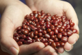 Господарство на Вінниччині експериментує з вирощуванням непопулярних бобових