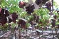 Площі столового винограду в Чилі зменшуються
