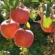 Під Ужгородом стартував самозбір яблук
