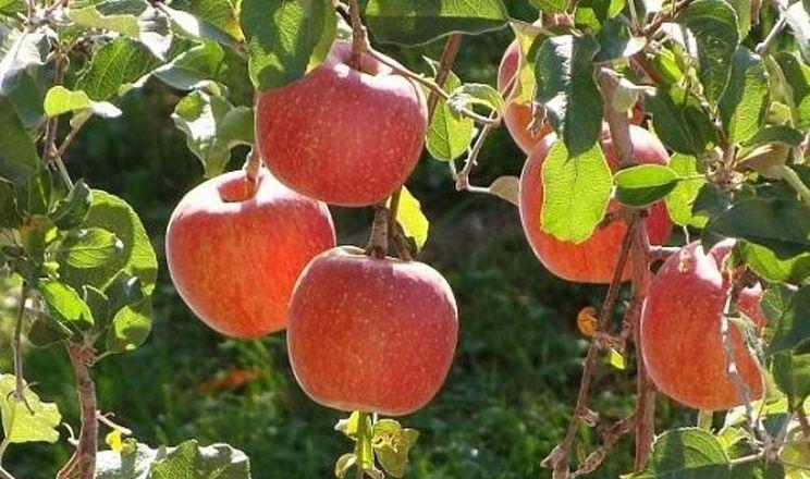 Короткі хвостики яблук – загальна проблема в Польщі