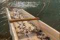 У водойми України за сім місяців вселено 11 млн екземплярів цінних видів риби