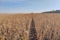 Господарство «Дедденс Агро» має ефективну технологію вирощування органічної сої