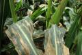Грибні захворювання рослин можна контролювати за допомогою ацетогідроксамової кислоти, - дослідження