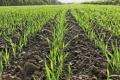 Надлишкове зволоження ґрунту пригнічує процес використання рослинами азоту