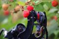 Fieldwork Robotics навчає робота збирати малину