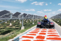 Під сонячними панелями вирощують ягоди годжі