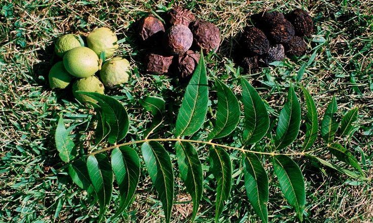 Львівський фермер створив найбільшу плантацію чорних горіхів