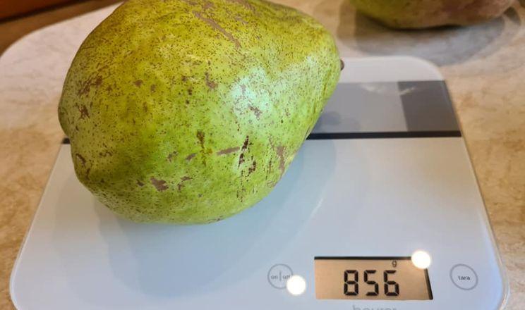 У Приазов'ї виростили майже кілограмові груші