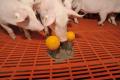 Іграшки відволікають свиней від обгризання хвостів
